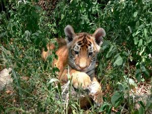 tiger-165074_640