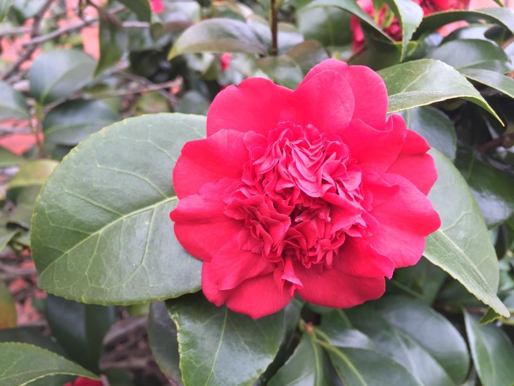 razzledazzle rose.JPG