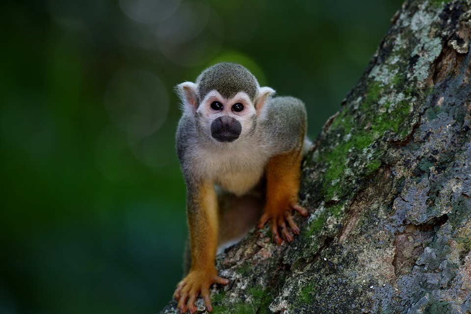 scented-monkey-1197100_960_720