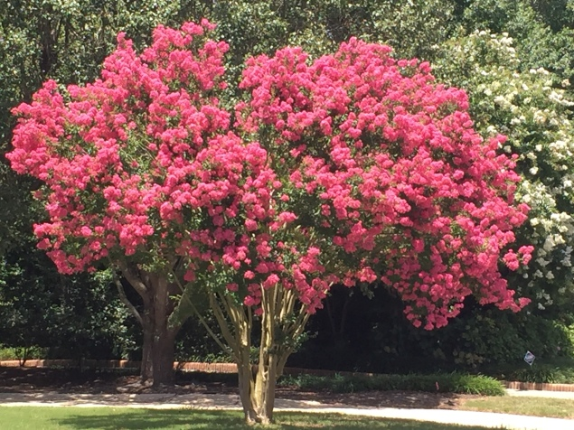 crepe myrtle neighbor