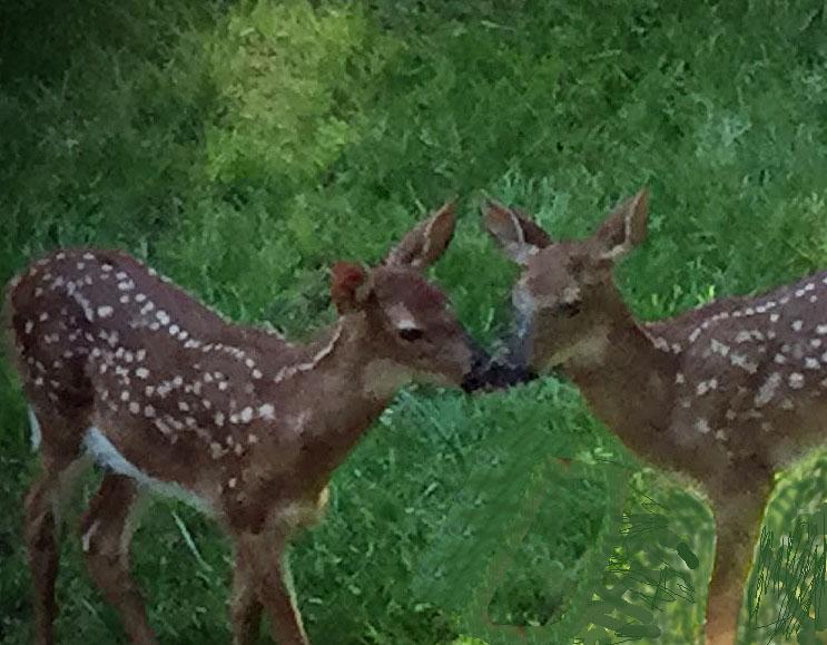 baby deer 2.jpg