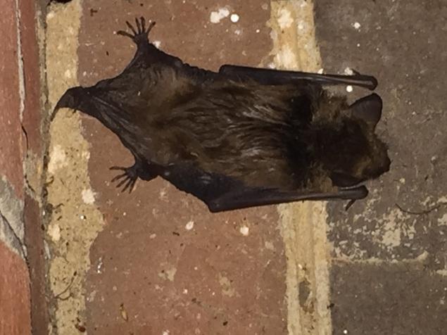 concussed bat