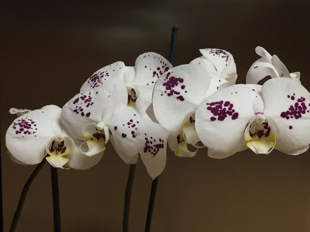 Plum orchid.JPG