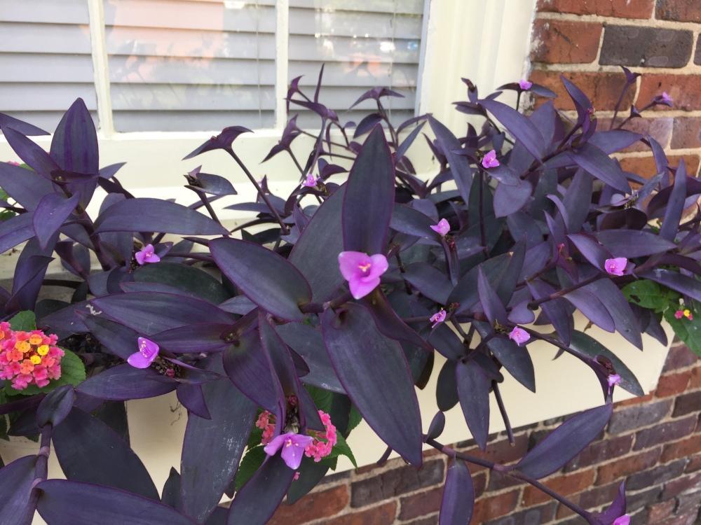 blue violet plants.JPG