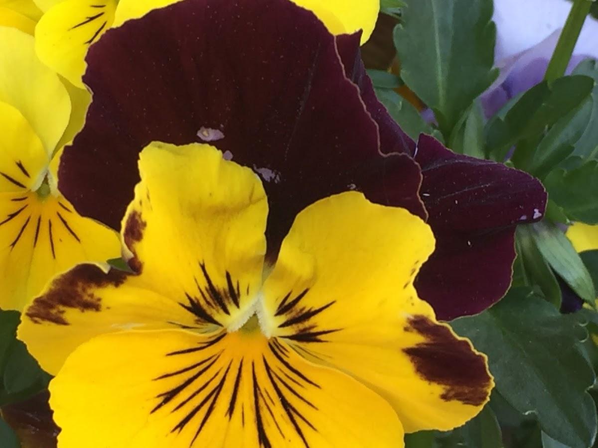 red violet 4